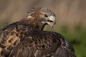 picture of buzzard  - Red Buzzard showing mantling behaviour photographed in Oakham - JPG