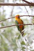 picture of parakeet  - parakeet or parrot is sleeping on tree branch in the garden - JPG