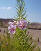 stock photo of xeriscape  - Desert willow   - JPG