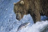 foto of grizzly bear  - Grizzly bear swimming with fish in mouth - JPG
