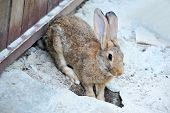 image of rabbit hole  - Big fluffy rabbit in wooden farm corral - JPG
