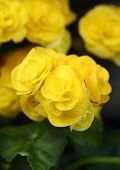image of begonias  - yellow begonia flower blooming in the garden - JPG
