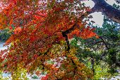 stock photo of maple tree  - Brilliant Red Foliage on Maple Tree in Lost Maples State Park - JPG