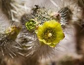 picture of anza  - Bright yellow flower of the Barrel Cactus plant in desert in bloom after rainfall - JPG