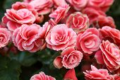 picture of begonias  - pink begonia flower blooming in the garden