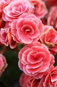 pic of begonias  - pink begonia flower blooming in the garden