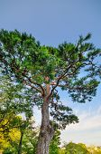 stock photo of pinus  - Green city park with pinus trees against blue sky - JPG