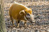 foto of wild hog  - Red river hog  - JPG