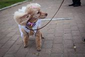 picture of poodle  - poodle with a bow on the habits involved in the masquerade - JPG