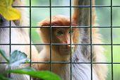 stock photo of monkeys  - Proboscis Monkeys Nasalis larvatus or long - JPG