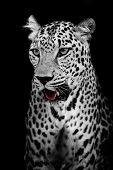 image of animal teeth  - Leopard portrait animal wildlife black color  background - JPG