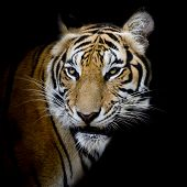 image of sundarbans  - Tiger closeup face animal wildlife black color background - JPG