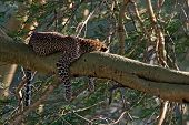image of leopard  - Leopard ( Panthera pardus) is resting on a branch of a tree