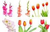 pic of gladiolus  - Studio Shot of mixed Colored Gladiolus and tulip Isolated on White Backgroud - JPG