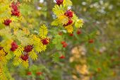 stock photo of rowan berry  - Rowan berries on twigs in autumn colors - JPG