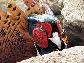 pic of pheasant  - Close up of pheasant - JPG