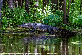 image of alligator  - An Unusual Shot of a Large American Alligator (Alligator mississippiensis) Fully Extended and Walking Tall on a Lake Bank in the Wild at Brazos Bend Park, Texas.