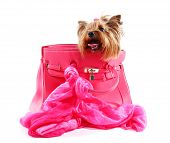 pic of yorkshire terrier  - Cute Yorkshire terrier in pink bag isolated on white - JPG