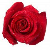 image of rose bud  - Red rose bud macro isolated on white background - JPG