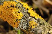 image of lichenes  - Colored lichen on a branch of a very old tree - JPG