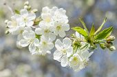 picture of cherries  - Blossoming cherry tree in spring season. Cherry flowers close up image