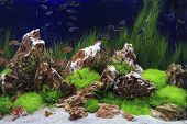 pic of fresh water fish  - Planted fresh water aquarium with plants and algae and with fishes - JPG