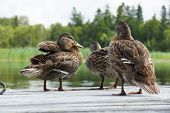image of dock a pond  - Mallard ducklings drying up on wooden dock - JPG