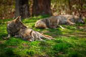 image of north american gray wolf  - A Pack of four North American Coyotes  - JPG