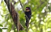 picture of jungle birds  - Dusky Broadbill Corydon Sumatranus Birds of Thailand - JPG