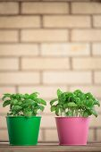 pic of plant pot  - Two green  Basil plants in a pots. ** Note: Soft Focus at 100%, best at smaller sizes - JPG