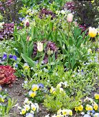 stock photo of forget me not  - Pretty spring flowerbed with pansies forget - JPG