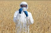 picture of genetic engineering  - agricultural engineer on field examining ripe ears of grain - JPG
