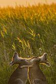 stock photo of kangaroo  - Two baby kangaroos pushing and hitting each other during a playful fight - JPG