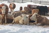 stock photo of transfer  - Cows in a snow covered feed - JPG