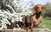 foto of dachshund dog  - dachshund chocolate puppy and red dog dachshund  - JPG