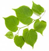 foto of lime-blossom  - Green tilia leafs isolated on white background - JPG