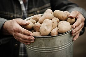 stock photo of potato-field  - Closeup of a bucket of potatoes in the hands of the farmer