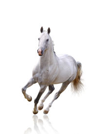 image of wild horse running  - white horse on white color background isolated - JPG
