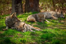 foto of coyote  - A Pack of four North American Coyotes  - JPG