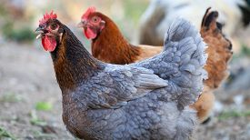 picture of canard  - Photos of poultry taken in the park of Madonie in Sicily - JPG