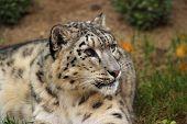 stock photo of panthera uncia  - a portrait snow leopard uncia uncia panthera uncia - JPG
