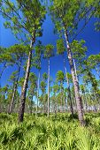 foto of saw-palmetto  - The beautiful pine flatwoods of central Florida on a sunny day - JPG