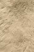image of polar bears  - Texture of skin of polar bear for the design - JPG