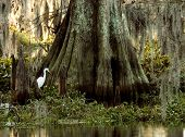 stock photo of bayou  - whte egret at the base of a huge cypress tree - JPG