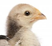 stock photo of ayam  - Close - JPG