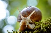 Helix pomatia also Roman snail, Burgundy snail, edible snail or escargot, is a species of large, edi poster