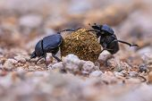 Moiling Strong Dung Beetles Facing Challenges poster