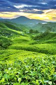 stock photo of cameron highland  - Tea Plantations at Cameron Highlands Malaysia - JPG