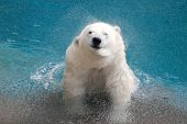 image of polar bears  - Shaking polar bear in water close-up in beautiful sunny day