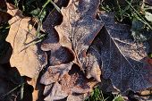 Frost Ice On Forest Oak Leaves. Shining Frosted Leafs Surface. Natural Floral Pattern Background. Ma poster